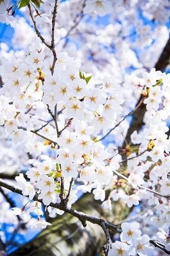 زیباکنار گیلان شکوفه های درختان میوه