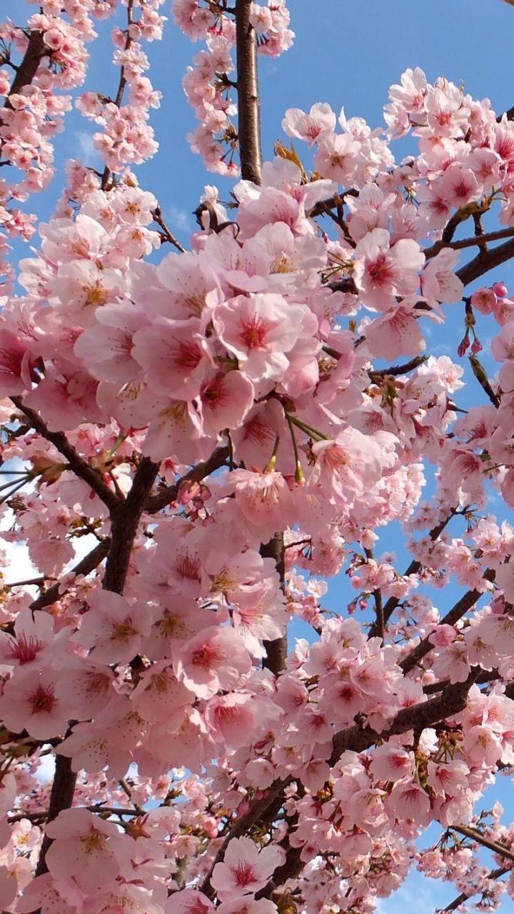 شکوفه های بهاری زیباکنار استان گیلان