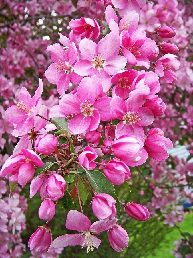 شکوفه های بهاری زیباکنار