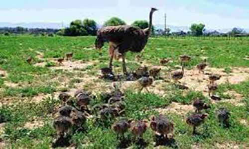 روشهای پرورش شتر مرغ