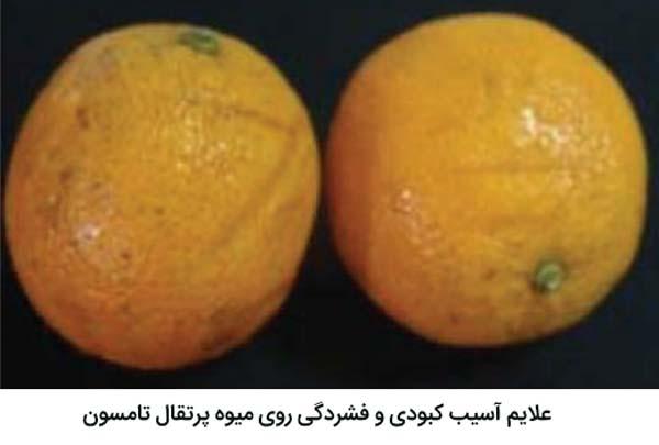 علایم آسیب کبودی و فشردگی روی پرتقال