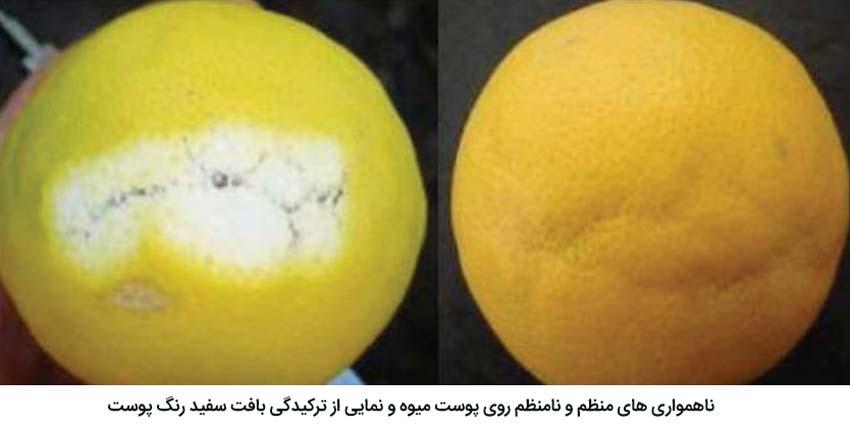 ناهمواریهای منظم و نامنظم روی پوست میوه مرکبات و نمایی ازترکیدگی بافت سفید رنگ پوست