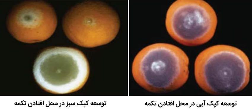 توسعه کپک سبز و آبی در اثر افتادن تکمه مرکبات