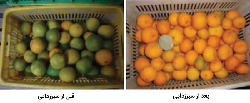 میوه مرکبات قبل و بعد از سبز زدایی