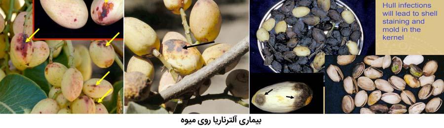 علایم بیماری سوختگی آلترناریایی روی میوه پسته