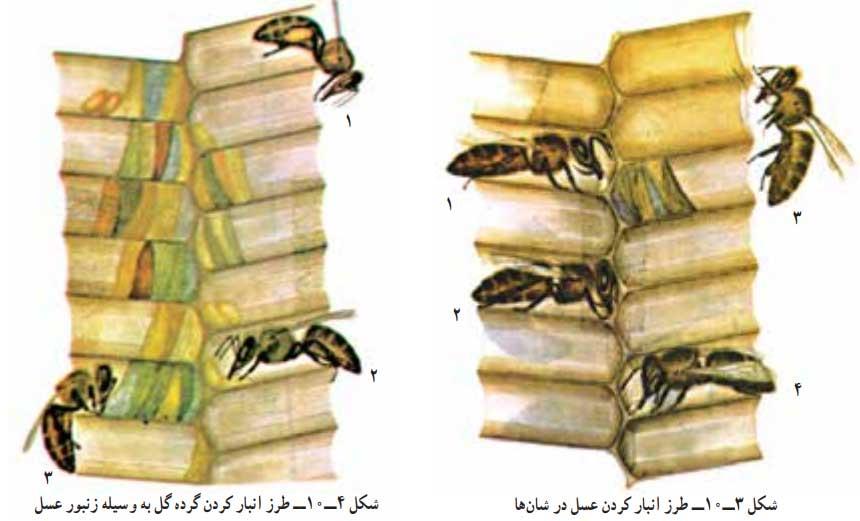 طرز انبار کردن عسل و گرده در شان