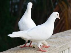 ارادت کبوتر به امام موسی کاظم ع