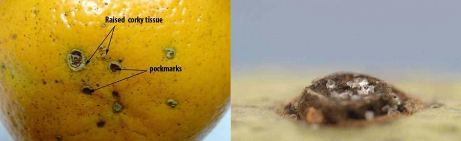 زخمهای ایجاد شده روی میوه مرکبات در اثر بیماری لکه قهوه ای آلترناریایی مرکبات با عامل Alternaria alternata pv citri