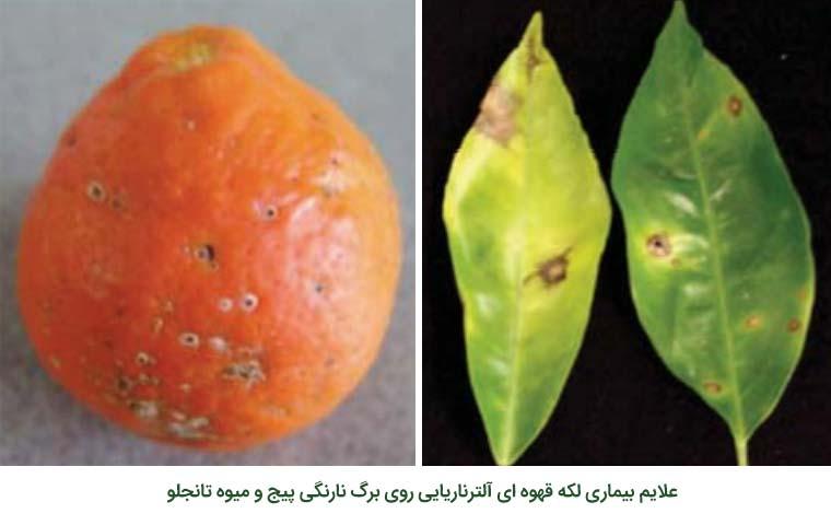 علایم بیماری لکه قهوه ای آلترناریایی مرکبات روی برگ نارنگی پیج و میوه تانجلو